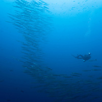 Ecuador, Galapagos Islands National Park,  Wolf Island, Underwater view of scuba diver swimming with large school of Wahoo fish (Acanthocybium solandri)