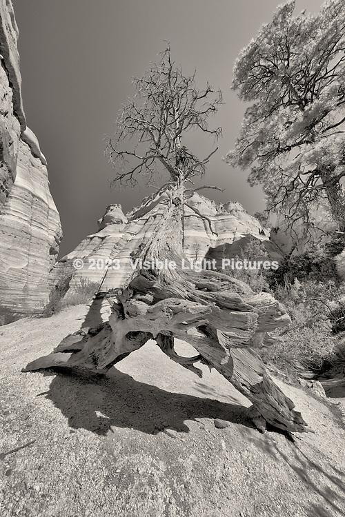 Fallen tree along the slit canyon at Kasha-Katuwe Tent Rocks National Monument.