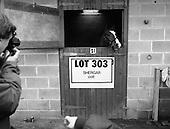 1983 - Shergar Foal is Auctioned
