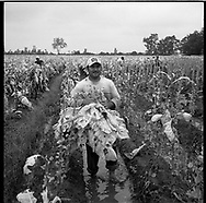 Undocumented Mexican workers pick tobacco in the sweltering heat of the eastern North Carolina tobacco fields. Many work barefoot in the mud exposing their feet to a toxic mixture of pesticides and nicotine which can cause their feet to turn black. The workers are picking tobacco at Tony Yang's 750 acre farm in Dudley North Carolina.