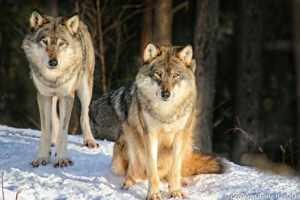 Fenris, alfahannen i ulveflokken, sammen med en kollega. Namsskogan Familiepark i Nord-Trøndelag.