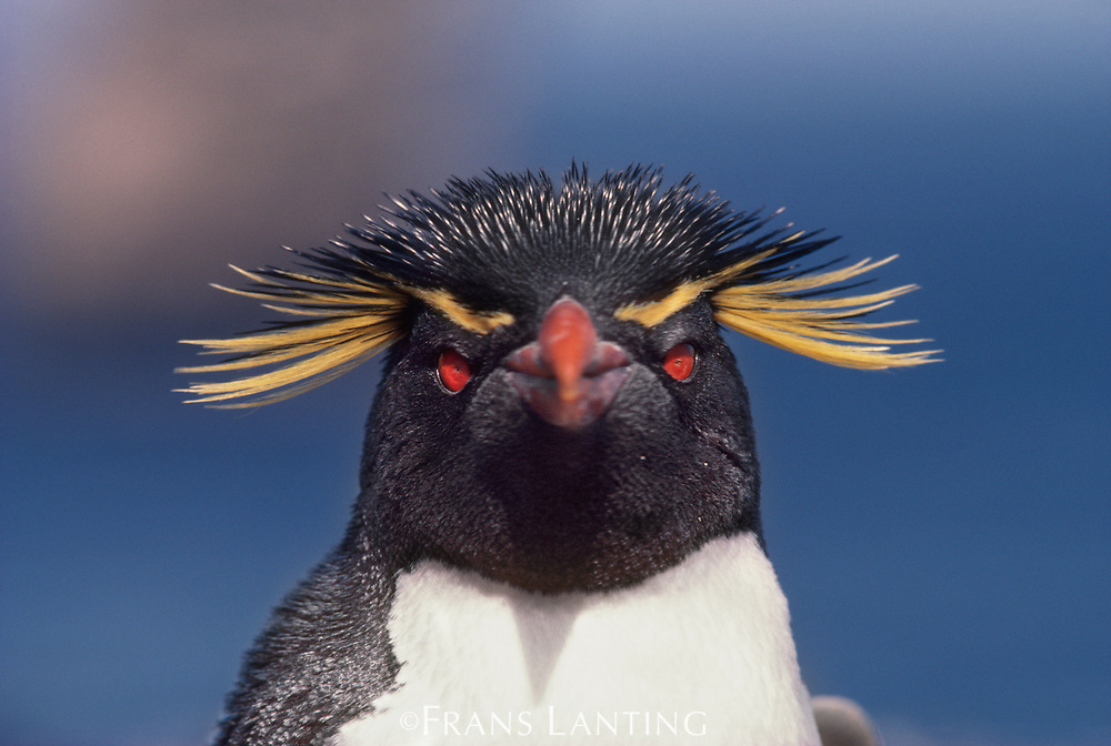 Rockhopper penguin, Eudyptes chrysocome, Falkland Islands