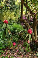 France, Languedoc Roussillon, Gard, Cevennes, Anduze, Prafrance, La Bambouseraie, Rhododendron SP.3