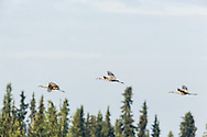 Sandhill Cranes (Grus canadensis) flying over Creamer's Field Migratory Waterfowl Refuge in Fairbanks in Interior Alaska. Summer. Morning.