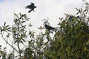 Crows, birds,