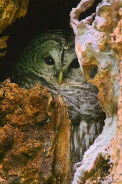 A barred owl (Strix varia) rests on its nest in a decaying tree in Interlaken Park, Seattle, Washington. Barred owls nest in existing tree cavities or use abandoned nesting platforms.