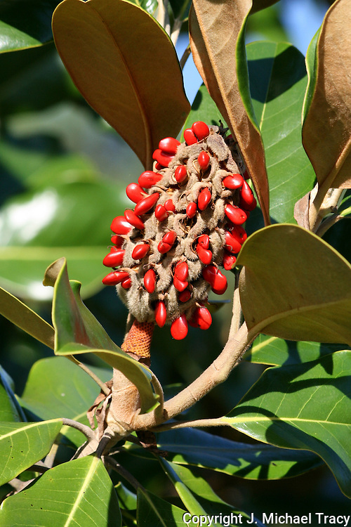 A fruiting cluster on a Georgia Magnolia tree which is the result after the gorgeous white Magnolia Flower petals mature and fall off.