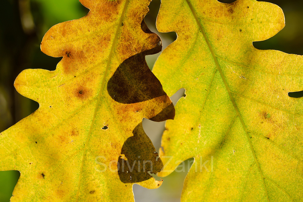 oak tree (Quercus robber) leaf. Edersee, Germany
