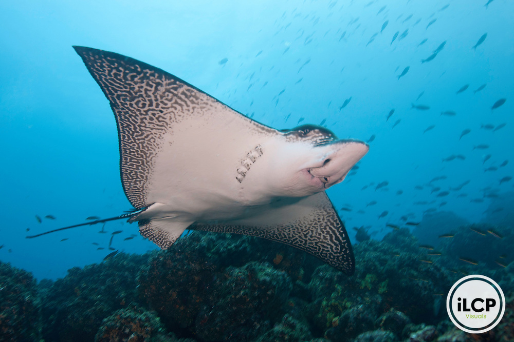 Graceful image from below of a spotted eagle ray (Aetobatus narinari)  Galapagos Islands, Ecuador.
