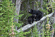 A bumper crop of whitebark pine nuts is good news for Yellowstone's bears including this black bear sow and cub feasting on pine nuts along Dunraven Pass. The large seeds, or nuts, of whitebark pine are a high-energy food rich in fats, carbohydrates, and protein. This makes them a sought-after resource for bears fattening up in the fall before denning.