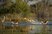 Impala (Aepyceros melampus) running through water<br /> Moremi Game Reserve, Okavango Delta<br /> BOTSWANA<br /> HABITAT &amp; RANGE: Savannas and thick bushveld in Kenya, Tanzania, Swaziland, Mozambique, northern Namibia, Botswana, Zambia, Zimbabwe, southern Angola, northeastern South Africa and Uganda