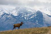 A cow elk (Cervus elaphus canadensis) in the Rocky Mountains.