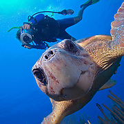 Photographer capturing an underwater image of a lone Loggerhead turtle (Caretta caretta) swimming over corals at Trick Ridge, South Water Caye, Belize