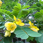 Heinz Rainer s - African Blossoms