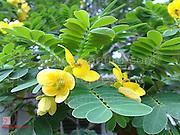 yellow blossoms, Tamale, Ghana