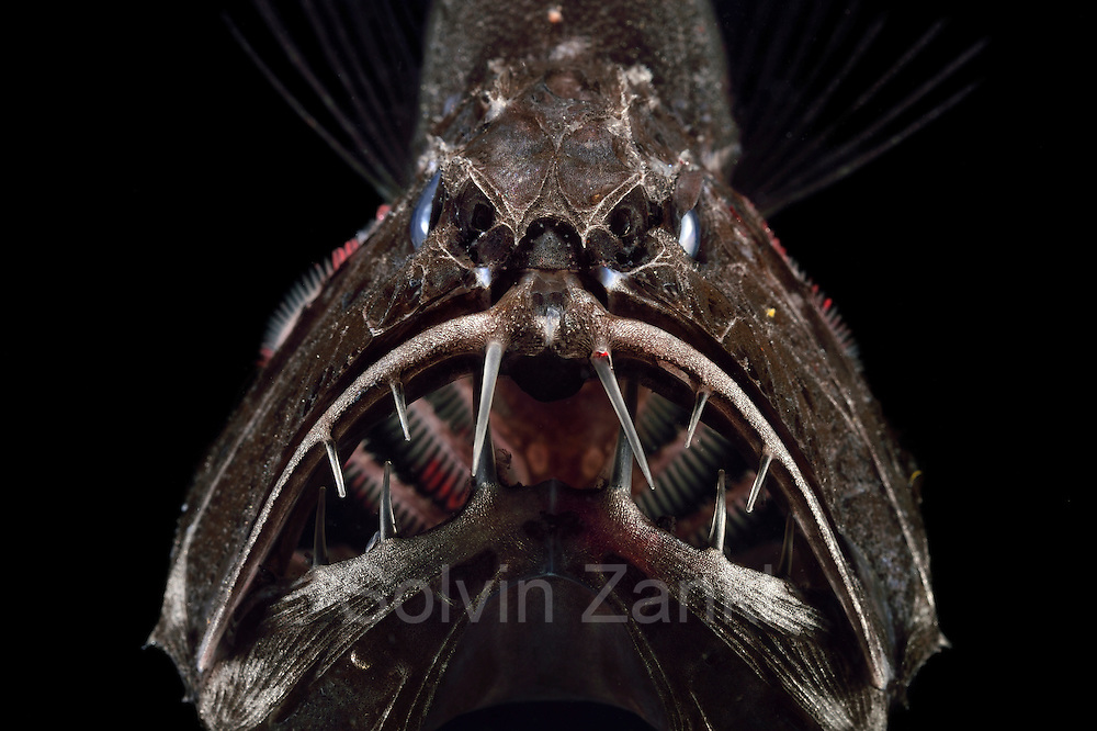 [captive] Common fangtooth (Anoplogaster cornuta), Deep Sea fish (Valenciennes, 1833), portrait,  Ord. Beryciformes, Fam. Anoplogastridae. Ocean Atlantic Ocean close to Cape Verde | Fangzahn