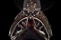 [captive] Common fangtooth (Anoplogaster cornuta), Deep Sea fish (Valenciennes, 1833), portrait,  Ord. Beryciformes, Fam. Anoplogastridae. Ocean Atlantic Ocean close to Cape Verde   Fangzahn