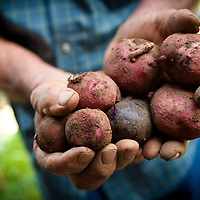 """Noodling for """"New Potatoes"""", Paul Gass pulls a colorful handful in late July in Catonsville, MD."""