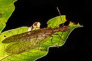 Fishflies & Dobsonflies