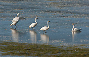 These trumpeter swans are part of a flock that winter on Washington's Olympic Peninsula along the branches of Chimacum Creek. When the flooded portion of the Roger Short's farm freezes, they have to navigate on the ice, something that is very challenging for them.