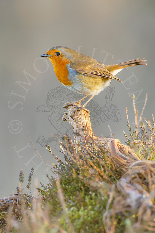 European Robin (Erithacus rubecula) adult,perched on twig, heathland, Norfolk, UK.