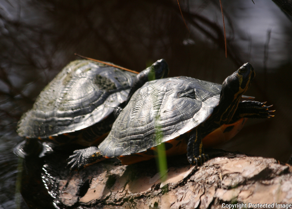 Two turtles warming themselves on a log in the sun at a secluded Jekyll Island pond.