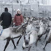 Reindeers - Harsjøen - Røros