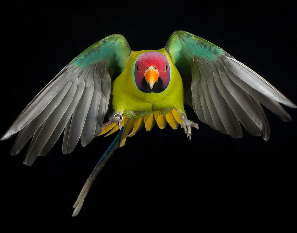 Plum Headed Parrot, (Psittacula cyanocephala); captive, credit: Pandemonium Aviaries/M.D.Kern