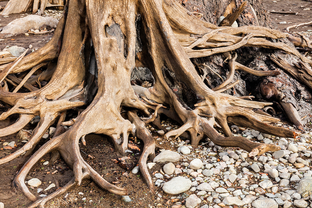 The gnarled, twisted stump of a dead tree submerged for 100 years in Rattlesnake Lake near North Bend, Washington, is exposed after a prolonged drought caused the lake to lose nearly all of its water.