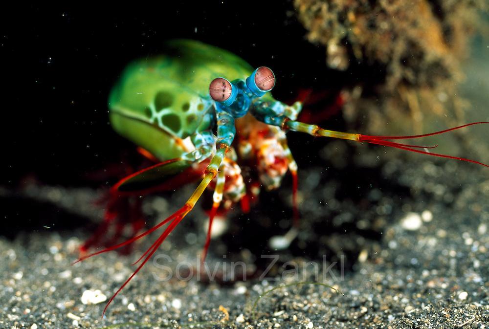 Bunte Fangschreckenkrebs (Odontodactylus scyllarus) | Peacock mantis shrimp (Odontodactylus scyllarus)