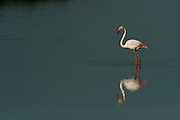Greater Flamingo (Phoenicopterus ruber)<br /> about 25,000-30,000 flamingos over winter in Do&ntilde;ana but very few breed there as the wetlands dry up before the chicks are completely grown.<br /> Marsh in El Roc&iacute;o Town<br /> Do&ntilde;ana National &amp; Natural Park. Huelva Province, Andalusia. SPAIN<br /> 1969 - Set up as a National Park<br /> 1981 - Biosphere Reserve<br /> 1982 - Wetland of International Importance, Ramsar<br /> 1985 - Special Protection Area for Birds<br /> 1994 - World Heritage Site, UNESCO.<br /> The marshlands in particular are a very important area for the migration, breeding and wintering of European and African birds. It is also an area of old cultures, traditions and human uses - most of which are still in existance.<br /> <br /> Mission: Iberian Lynx, May 2009<br /> &copy; Pete Oxford / Wild Wonders of Europe<br /> Zaldumbide #506 y Toledo<br /> La Floresta, Quito. ECUADOR<br /> South America<br /> Tel: 593-2-2226958<br /> e-mail: pete@peteoxford.com<br /> www.peteoxford.com