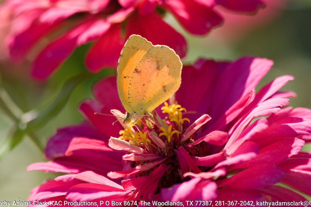 Sleepy orange butterfly, feeding on zinnia, Ft. Davis, Texas.