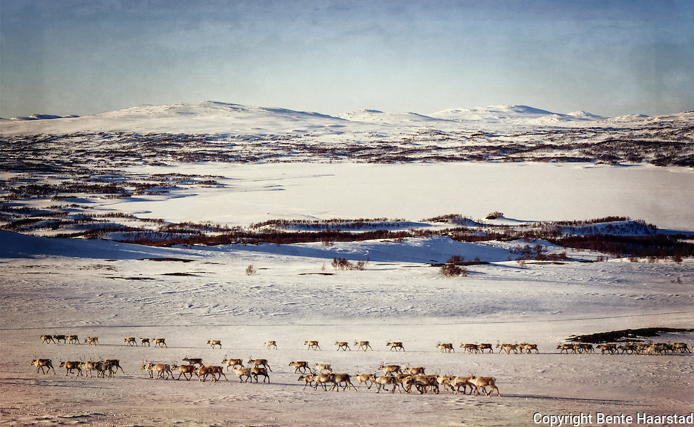 Spring migration by the South sami reindeer herders of Saanti Sijte and Gåebrien Sijte in Norway.
