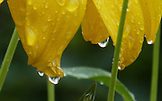 Raindrops hang from the golden-yellow, reflexed petals of Rudbeckia laciniata 'Juligold'.<br /> <br /> This is a perennial variety of Rudbeckia, flowering from late Summer into Autumn, and capable of attaining great height. It reaches 7ft in my garden, where it out-performs all the sunflowers!<br /> <br /> This is one of a sequence of three images in this gallery.<br /> <br /> Date taken: 24 August 2013.