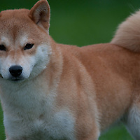 Shib Inu Competing in a conformation event at an AKC sanctioned dog show.
