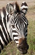 Zebras - Punda Milia