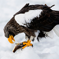A Steller's Sea eagle standing on pack ice and feeding on fish.