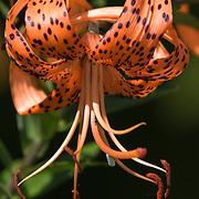 Tiger lily (Lilium tigrinum) bloom
