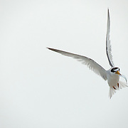 A Least Tern bringing home dinner.