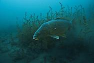 Common Carp<br /> <br /> Christopher Morey/Engbretson Underwater Photo