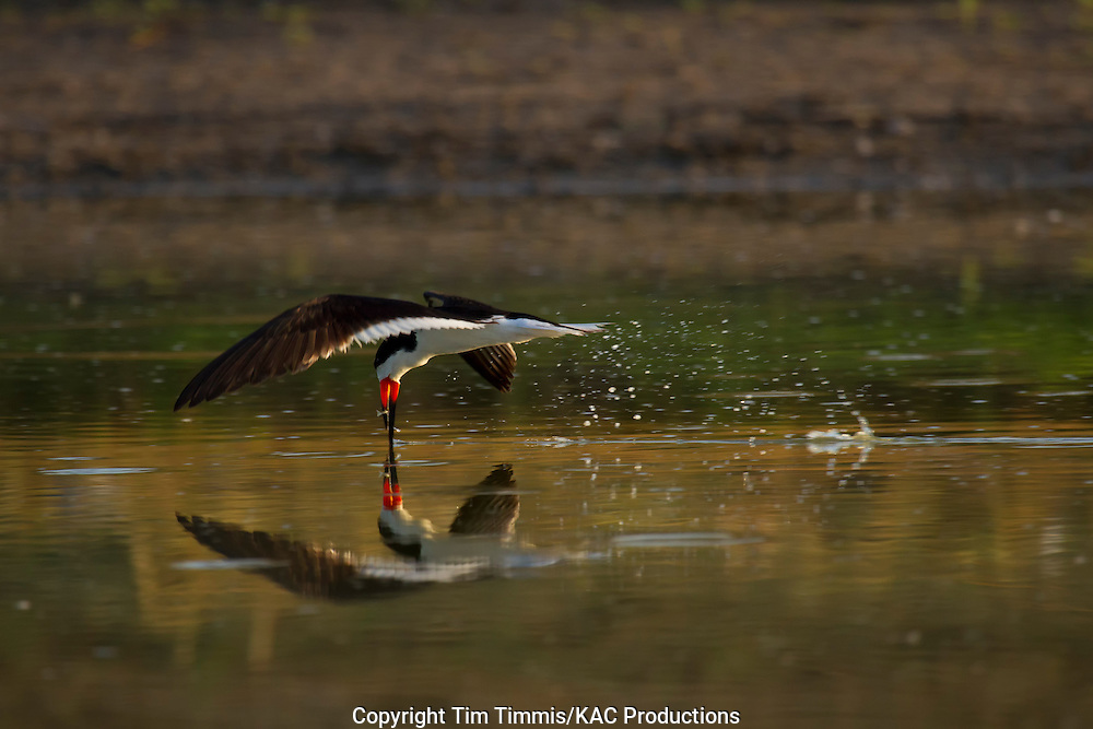 Black Skimmer, Rynchops niger, Bryan Beach, Texas gulf coast, skimming with beak in water, catching fish, splashing water, reflection, back lighting