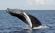 Humpback Whale Megaptera novaeangliae Silver Banks Whale Sanctuary Dominican Republic Caribbean Sea<br />