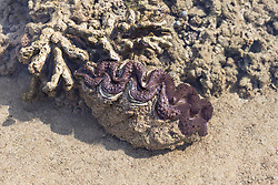 A Giant clam (Tridacna sp.) in a shallow intertidal pool on Macleay Island on the Kimberley coast.
