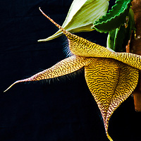 Flower of the Giant Stapelia Cactus