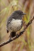 Stewart Island Robin Pictures - Photos