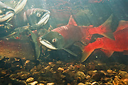 Alaska. Big Lake. Fish Creek. Spawning Sockeye red salmon (Onchorynchus nerka).