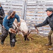 Reindeers - Simler og bukk