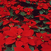 Pointsettia in christmas colors. Mexico