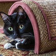 Tuxedo cat, black-and-white shorthair, under a scratching post on carpet.