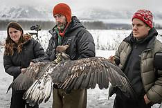 Bald eagle research - Chilkat River eagle migration study